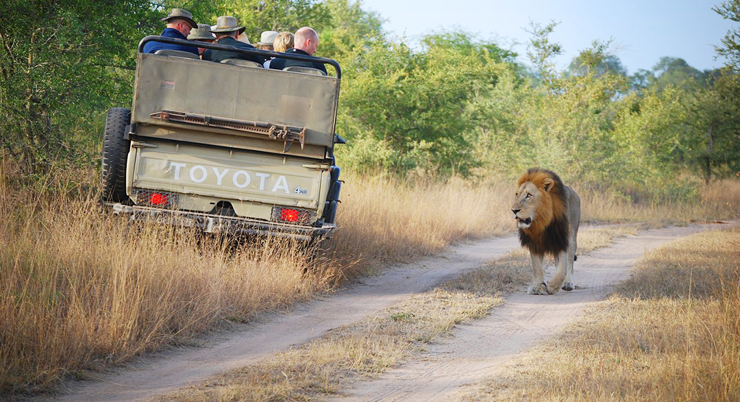 Tourists travelling through park watching a lion