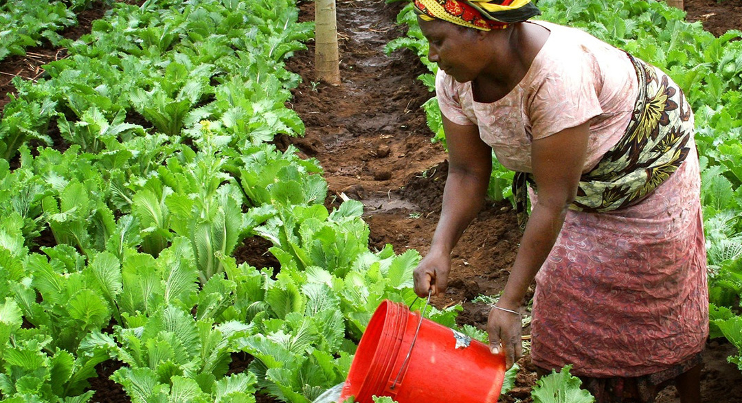 Female farmworker pours water on lettuce for sanitation